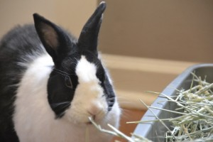 Black and white rescue rabbits rock