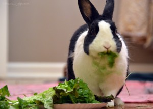 Cute black and white bunny eating cilantro