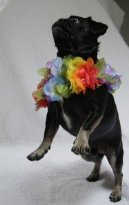 Kilo the Pug dancing Hawaiin style #TGIF