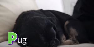 P for Pug- Kilo the Pug snoozing