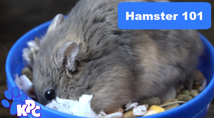 Get To Know Just What A Hamster Is
