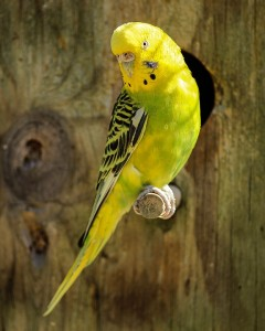Yellow Pet Parakeet
