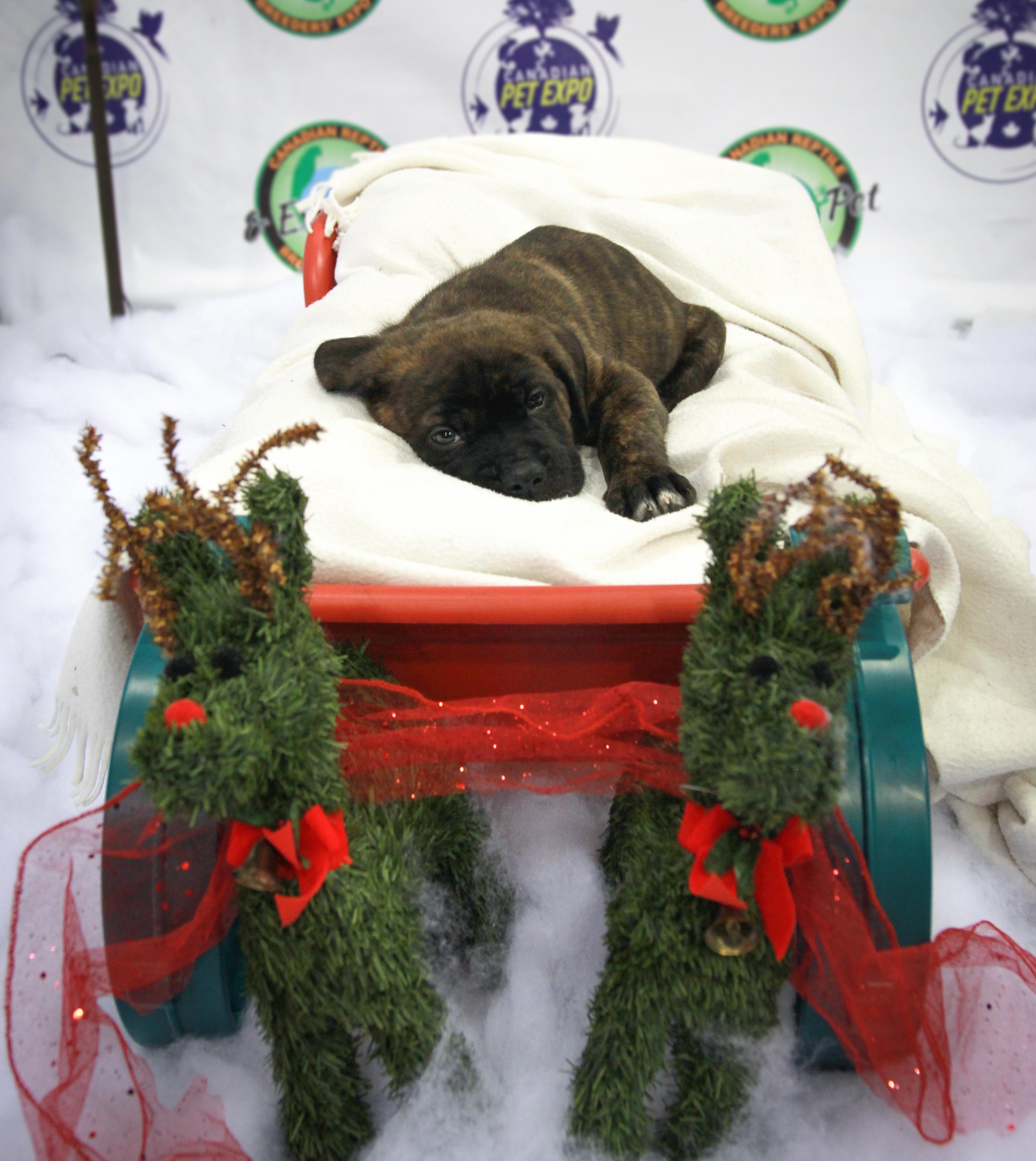 Christmas Pet Expo Scottsdale 2020 Durriken the Cane Corso cross Bull Mastiff puppy at Canadian