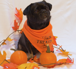 Kilo the Pug does tricks for treats- posing in his Halloween bandana with a pumpkin