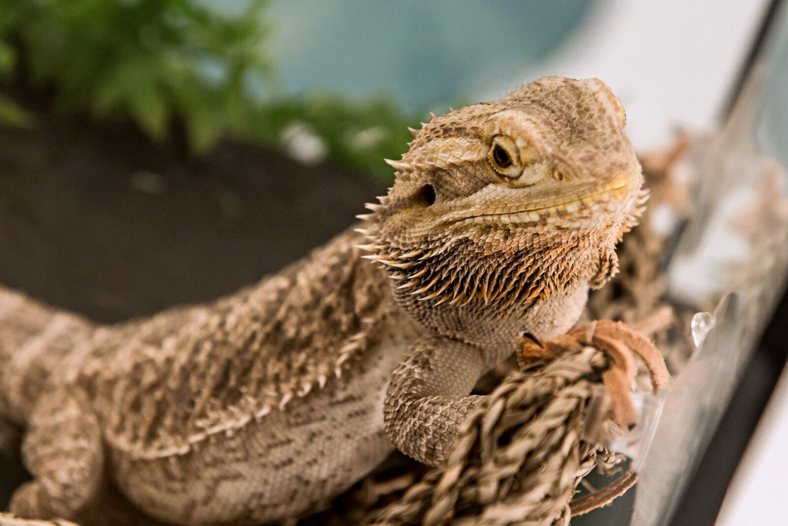 Leo the Lizard Bearded Dragon Kids' Pet Club