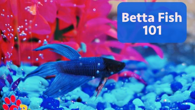 Betta Fish 101