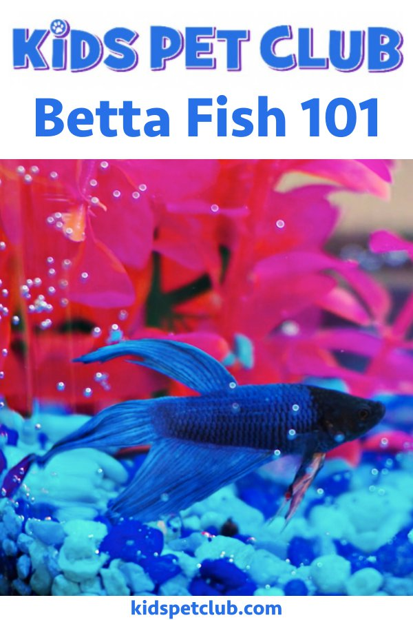 Betta Fish 101 - Kids' Pet Club Facts